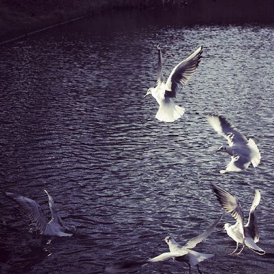 ~~ Lost In Your Maelstrom ~~ Birds Instabirds Water Lake Seagulls Gulls Instaflight Instanature Igers Ig_europe Ig_ireland Bestoftheday Dublin Ireland Followme Follow Pentax Look Naturephotography Picoftheday Photooftheday Seagullbutt Winter