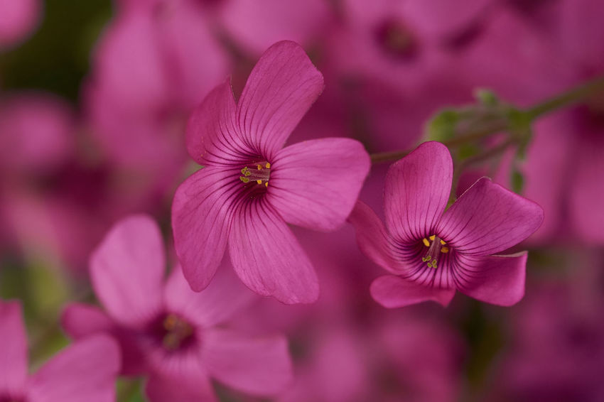 Pink Oxalis Beauty In Nature Blooming Close-up Day Flor Flora Flower Flower Head Focus On Foreground Fragility Freshness Growth Nature No People Outdoors Oxalis Periwinkle Petal Pink Color Pink Oxalis Plant