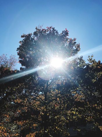 Hello Fall Sunlight Sunbeam Lens Flare Sun Tree Low Angle View Nature No People Growth Day Beauty In Nature Outdoors Tranquility Clear Sky Sky Scenics Leaf