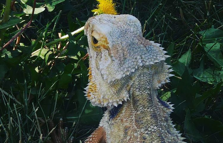 Attitude One Animal No People Animal Wildlife Day Outdoors Reptile Animals In The Wild Nature Animal Themes Close-up Tree Growth Animals In The Wild Bearded Dragon Bearded Dragon Face Close Up Bearded Dragon Love Reptile Photography Reptile World Grassy Yellow Flowers