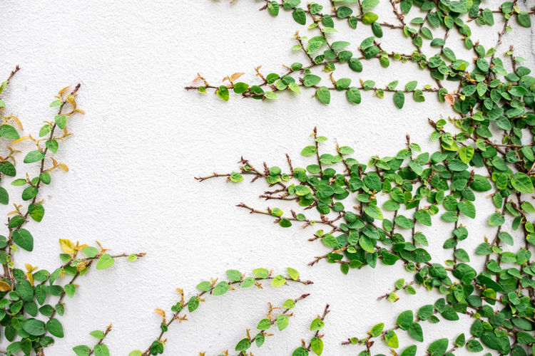 Architecture Beauty In Nature Built Structure Close-up Creeper Plant Day Freshness Full Frame Green Color Growth Ivy Leaf Nature No People Outdoors Plant Plant Part Vine Wall - Building Feature White Color