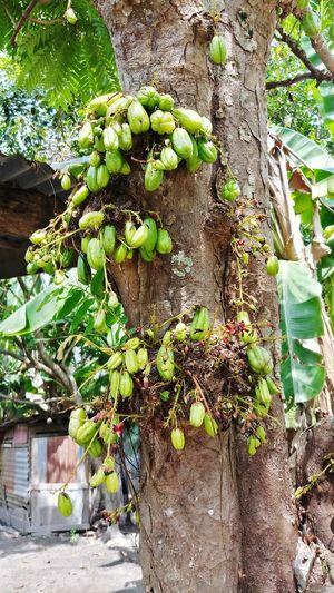 sour fruit EyeEm Selects Bilimbi A Sour Fruit Tree Tree Trunk