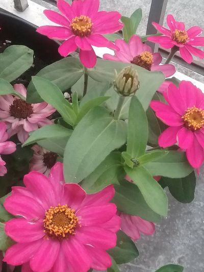 Beauty In Nature Pink Color Flower Head Growing Plants On My Front Porch Just Something A Little Brighter Today.