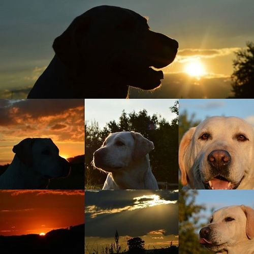 Terezapes LabradorRetriever Sunset