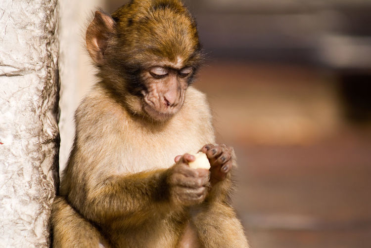 View of contemplative monkey