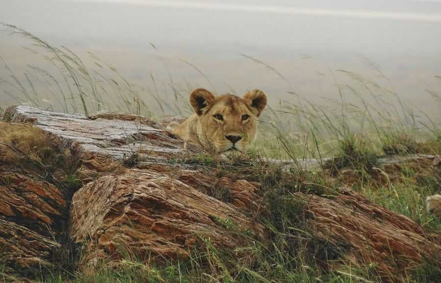 Queen Lioness. Animals In The Wild Animal Wildlife Nature Mammal Day No People Outdoors Animal Themes Safari Animals Serengeti, Tanzania African Safari African Beauty Beauty In Nature Animals In The Wild Africa Nature Serengeti National Park Lioness Lioness Queen