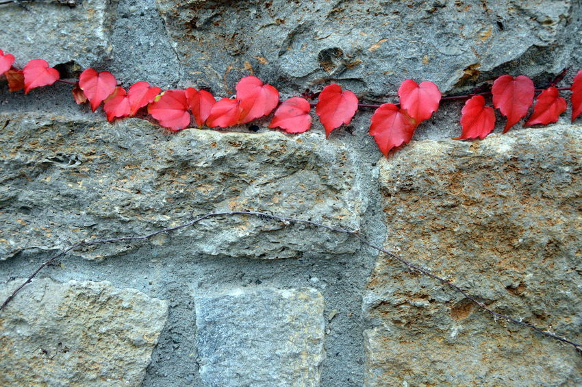 Autumn Autumn Colors EyeEm Nature Lover EyeEmNewHere German Red Spotted In Thailand Wall Architecture Beauty In Nature Built Structure Close-up Day Flower Fragility Growth Leaf Nature No People Olefingirl Outdoors Plant Red Textured  Tree Trunk