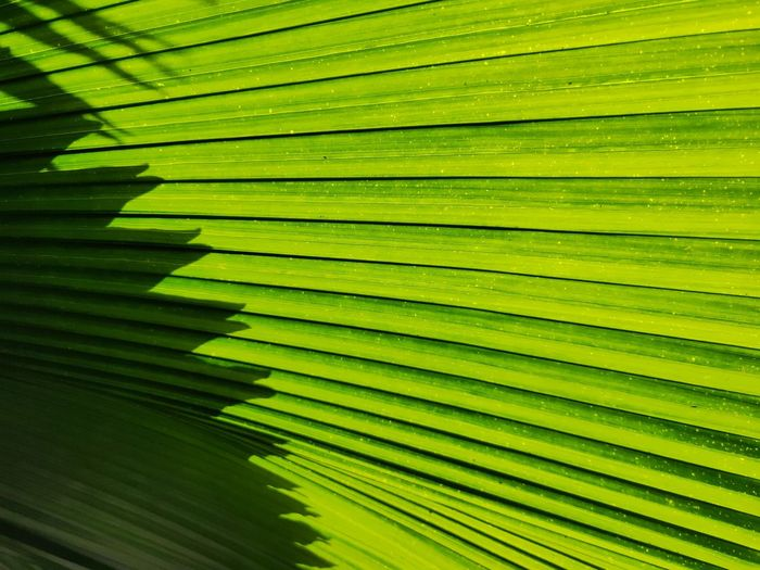 green leaves pattern background Palm Tree Tree Leaf Multi Colored Backgrounds Sunlight Shadow Plant Part Vibrant Color Close-up Tropical Flower Forest Fire Botanical Garden Photosynthesis Pistil Mustard Plant Tissue Relaxed Moments In Bloom Delicate Stamen Flowering Plant Us State Focus On Shadow Long Shadow - Shadow Frond Palm Leaf Leaf Vein Fern Blooming