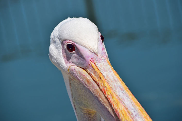 Portrait of pelican looking at camera over blue water background Angle Animal Animal Eye Animal Head  Animal Themes Avian Beak Bird Blue Close-up Eyes Face To Face Look Looking At Camera Nature Pelican A Bird's Eye View Photography Pivotal Ideas Portrait Water Weird White Wildlife Colour Of Life