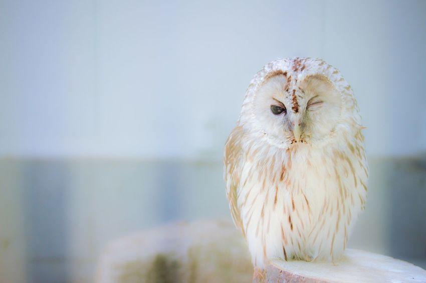 Wink Owl Bird Bird Photography Soft White Animal_collection Animal Love EyeEm Birds FUNNY ANIMALS