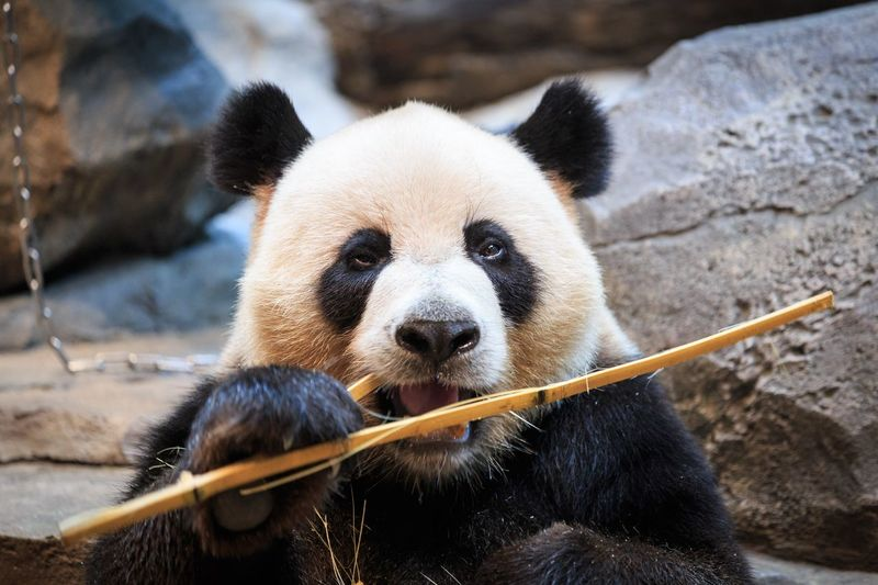 EyeEm Selects Animal Animal Themes Bear One Animal Animal Wildlife Mammal Animals In The Wild Panda - Animal Vertebrate Giant Panda No People Day Looking At Camera Portrait Endangered Species Focus On Foreground Nature Zoo Animal Body Part Animal Head