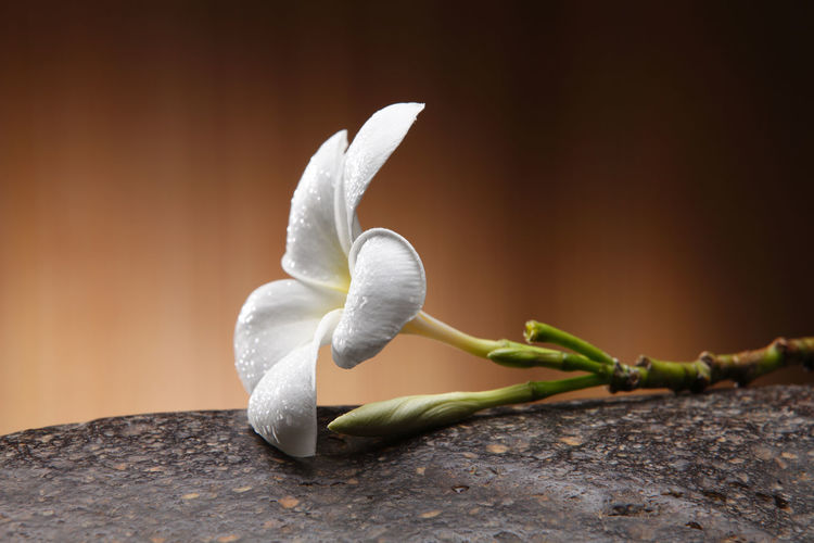 Close-up of white flower on wood