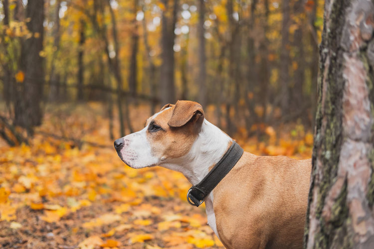Dog looking away while standing against trees in forest