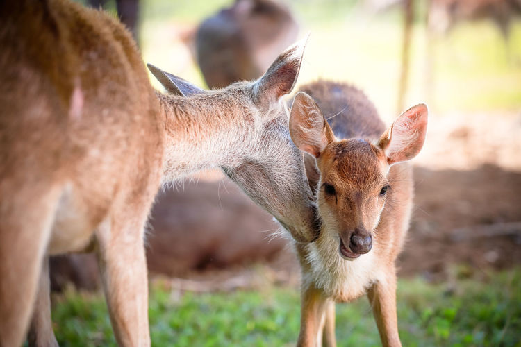Deer on Farm Deer Deer Park Mammal Animal Themes Animal Animal Wildlife Group Of Animals Young Animal Two Animals Animals In The Wild Vertebrate Focus On Foreground No People Nature Day Land Domestic Animals Standing Field Herbivorous Fawn Outdoors Animal Family