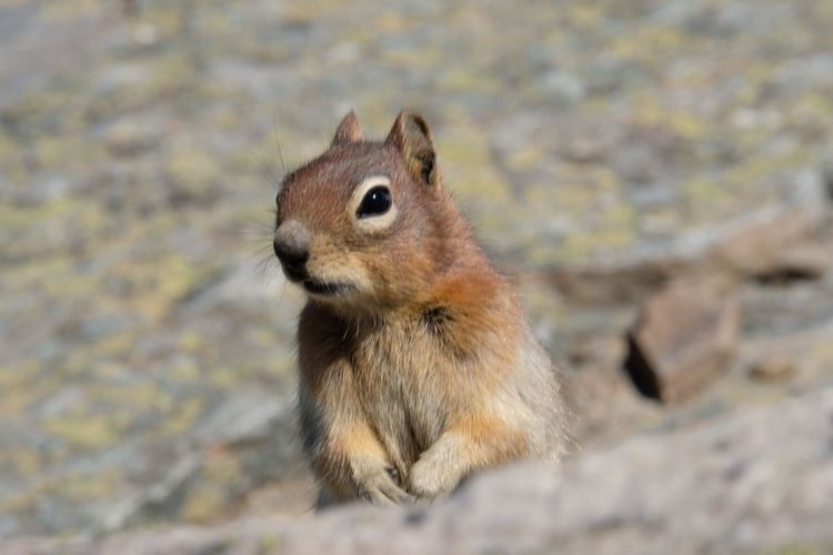 Animal Wildlife Animal Themes Animal One Animal Mammal Rodent Animals In The Wild Squirrel Close-up Focus On Foreground Rock Nature