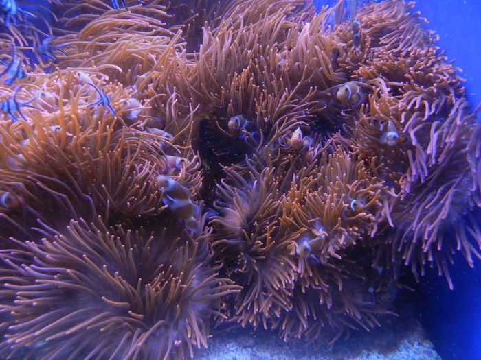 Aquarium Clown Anemonefish Clownfish Clownfish Family Nature Sea Life Tropical Climate Underwater