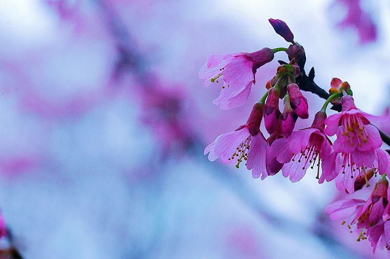 Spring Time Colors 春 Spring Spring Colours EyeEm Nature Lover Pink Sakura Blossom Cherry Blossoms 桜 Japan