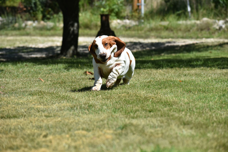 Dog running in grassy field