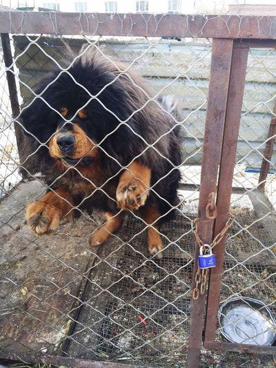 2015 XJ Dog Tibetan Mastiff Animals Power