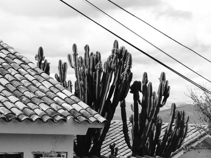 Black and white cactus Roof Cusco Cusco, Peru Peru South America Cactus Cactus Flower Cactus Collection Cactuslover Blackandwhite Black And White Black & White Cactusplants Thorn Sky Cloud - Sky Electricity Tower Roof Cable Rooftop Residential Structure Power Line  Roof Tile Cactus TOWNSCAPE The Mobile Photographer - 2019 EyeEm Awards