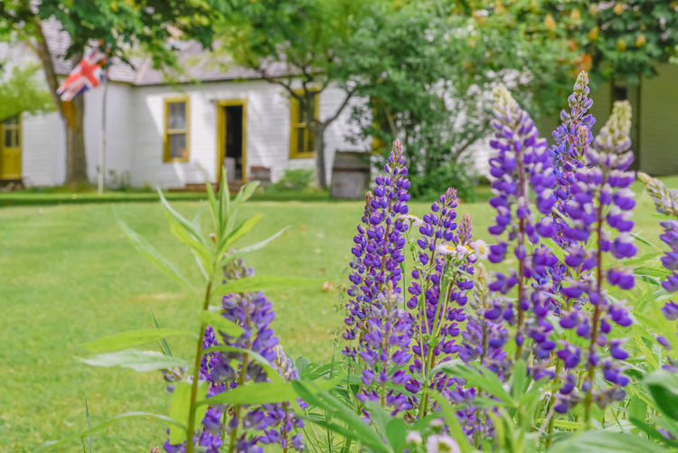 Keremeos, British Columbia/Canada - June 3, 2017: lupins bloom in the gardens with the museum in the background at The Grist Mill and Gardens Keremeos. This important heritage site dates to 1877. 1877 Afternoon British Columbia, Canada Grass Green Similkameen Valley The Grist Mill And Gardens Keremeos Travel Blooming Building Close-up Editorial  Flag Gardens Heritage Site Historic Site June Keremeos Lawn Lupins Museum Outdoors Purple Spring Tourism