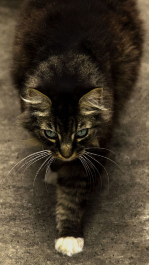 Fine Art Photography Alertness Animal Themes Cat Domestic Animals Domestic Cat Feline Indoors  Looking At Camera One Animal Pets Portrait Whisker Showcase March I ♡ Cats I ❤️ Cats