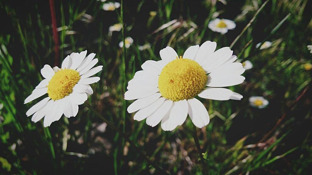 Turkey Nature Flower Head Flower Plant Beauty In Nature Yellow No People The Week On EyeEm
