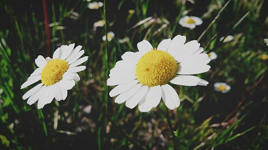 Turkey Nature Flower Head Flower Plant Beauty In Nature Yellow No People The Week On EyeEm