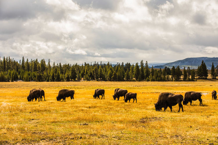 Bisons grazing on field against sky