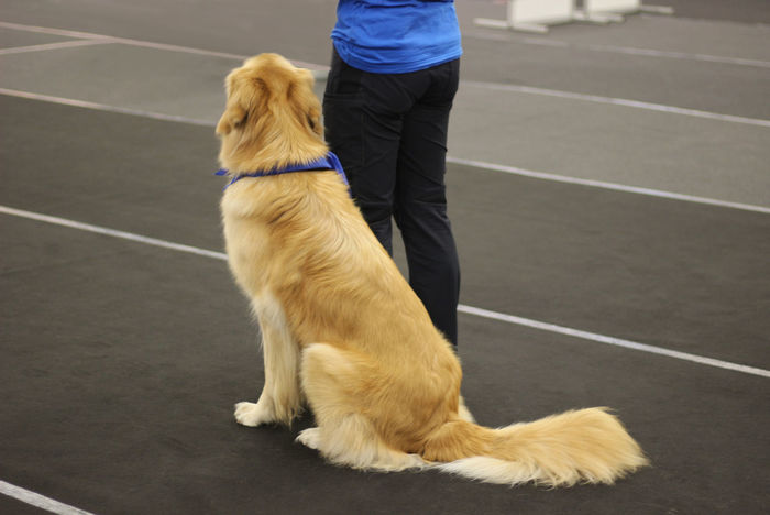 Beautiful Bright Copy Space Rear View Standing Woman Attentive Blue Brown Color Competition Day Dog Dog Show Domestic Animals Fur Golden Retreiver Indoors  Neckerchief One Animal Owner Pedigree Dog Pets Purebred Dog Sittting