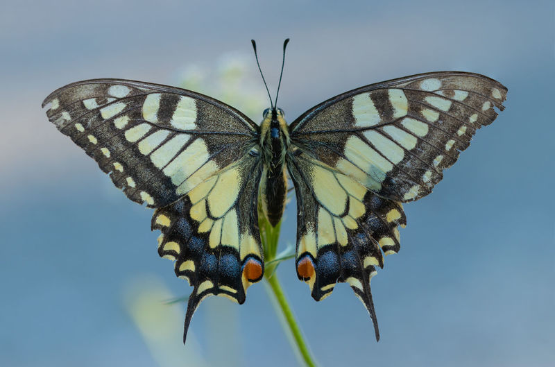 Swallowtail Animal Wildlife Beauty In Nature Butterfly Butterfly - Insect Close-up Focus On Foreground Insect Nature No People One Animal