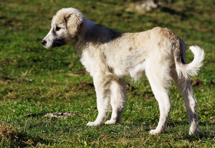 Mammal One Animal Canine Dog Domestic Domestic Animals Pets Grass Plant Nature No People Day Young Animal Side View Border Collie Romanian Shepherd Dog Cuba Dog Cub Romanian Dog Animal Folded Fold Dog Cute Beautiful Cute Dog