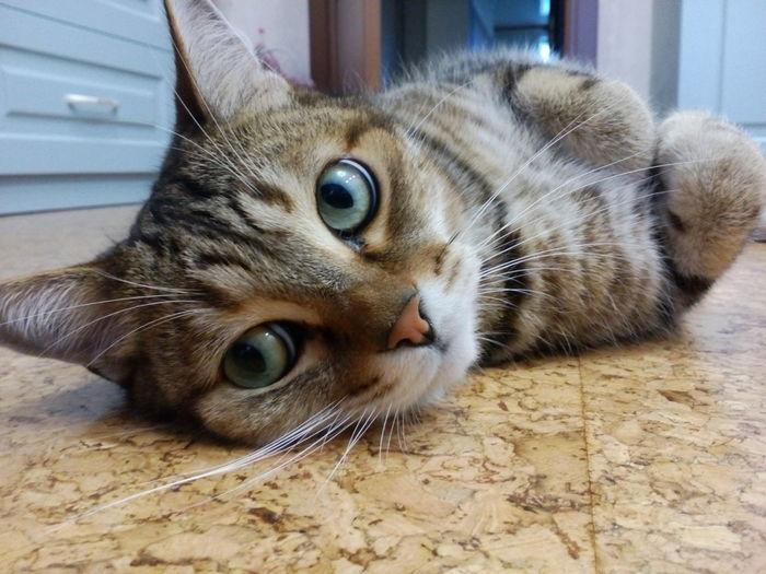 Cat Domestic Cat Pets