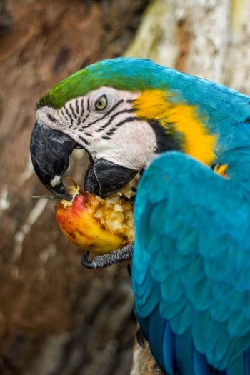 Let me eat Eat An Apple Apple Hungry Animals Hungry EyeEmNewHere Lima Peru Guacamayo Guacamayo Azulamarillo Guacamayo Peruano Animal Themes Animal Bird Vertebrate One Animal Animal Wildlife Parrot Gold And Blue Macaw Macaw Animals In The Wild No People Nature Animal Head  Blue