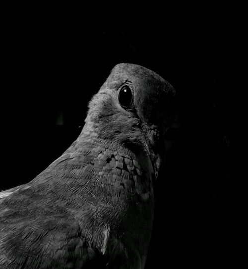 Headshot Nature Outdoors Black Background Night No People Close-up Bird Photography Bird With Attitude Honorphotography Mobilephotography