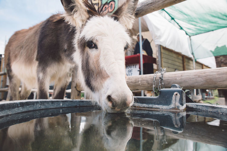 Close-Up Of Donkey Drinking Water