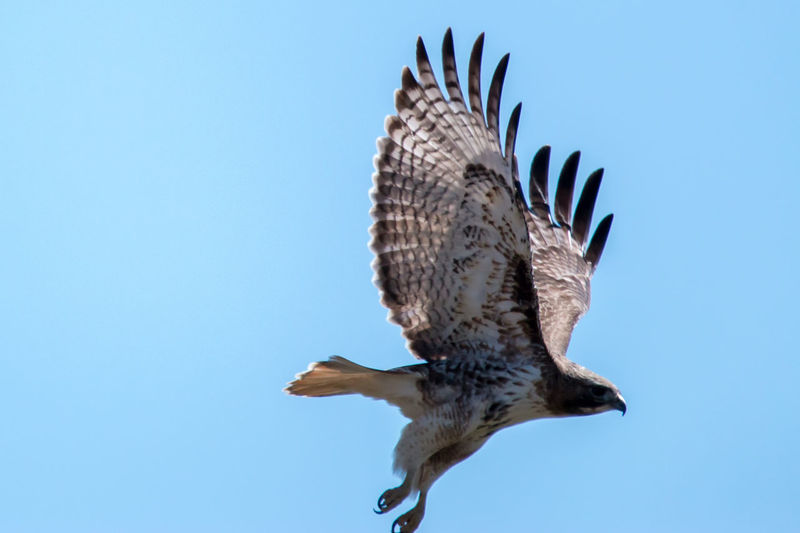 Side view of hawk flying against clear sky