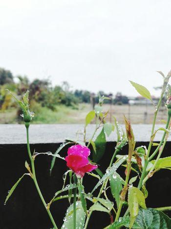 Rain Flower Plant Nature Flower Head Growth No People Leaf
