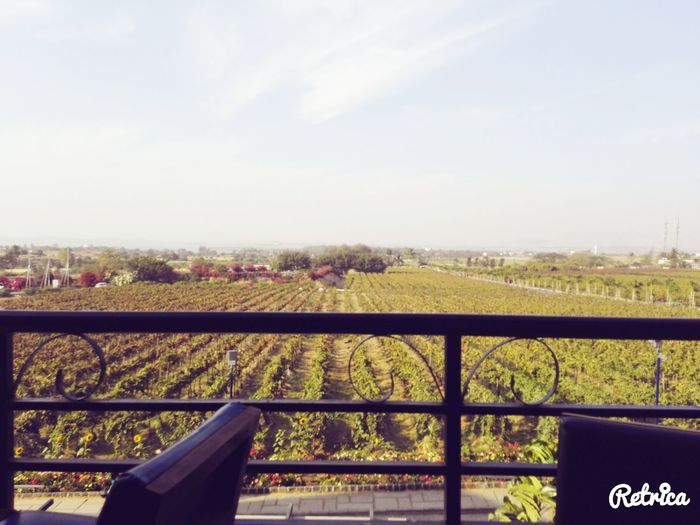 No Dslr Sula Vineyards Farms Grapes 🍇 Wonderful_places Taking Photos Relaxing Nature Nasik At Its Best Lifeisbeautiful