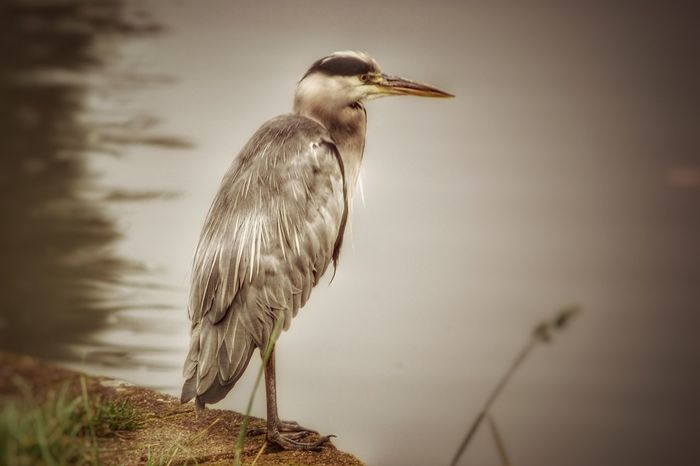 One Animal Bird Animal Wildlife Animals In The Wild Animal Themes Nature Perching Heron No People Outdoors Beauty In Nature Water Gray Heron Day Liverpool England