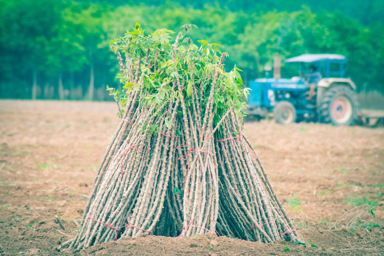 Agriculture Cassava Cassava Farm Day Farm Field Focus On Foreground Food And Drink Green Color Growth Land Land Vehicle Landscape Leaf Nature No People Outdoors Plant Plant Part Rural Scene Transportation Tree