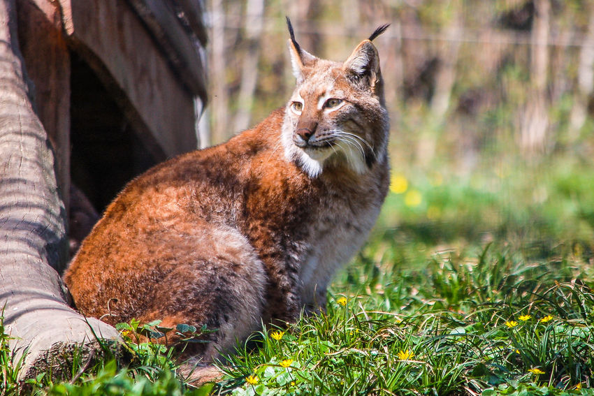 Luchs - beobachtend Best Tiere Hofi Best Shots Hofi Luchs Beobachtend Looking At Camera Outdoors Nature Animal Wildlife Mammal No People Close-up Portrait Beauty In Nature Animals In The Wild Grass One Animal Animal Themes Stadt Haag