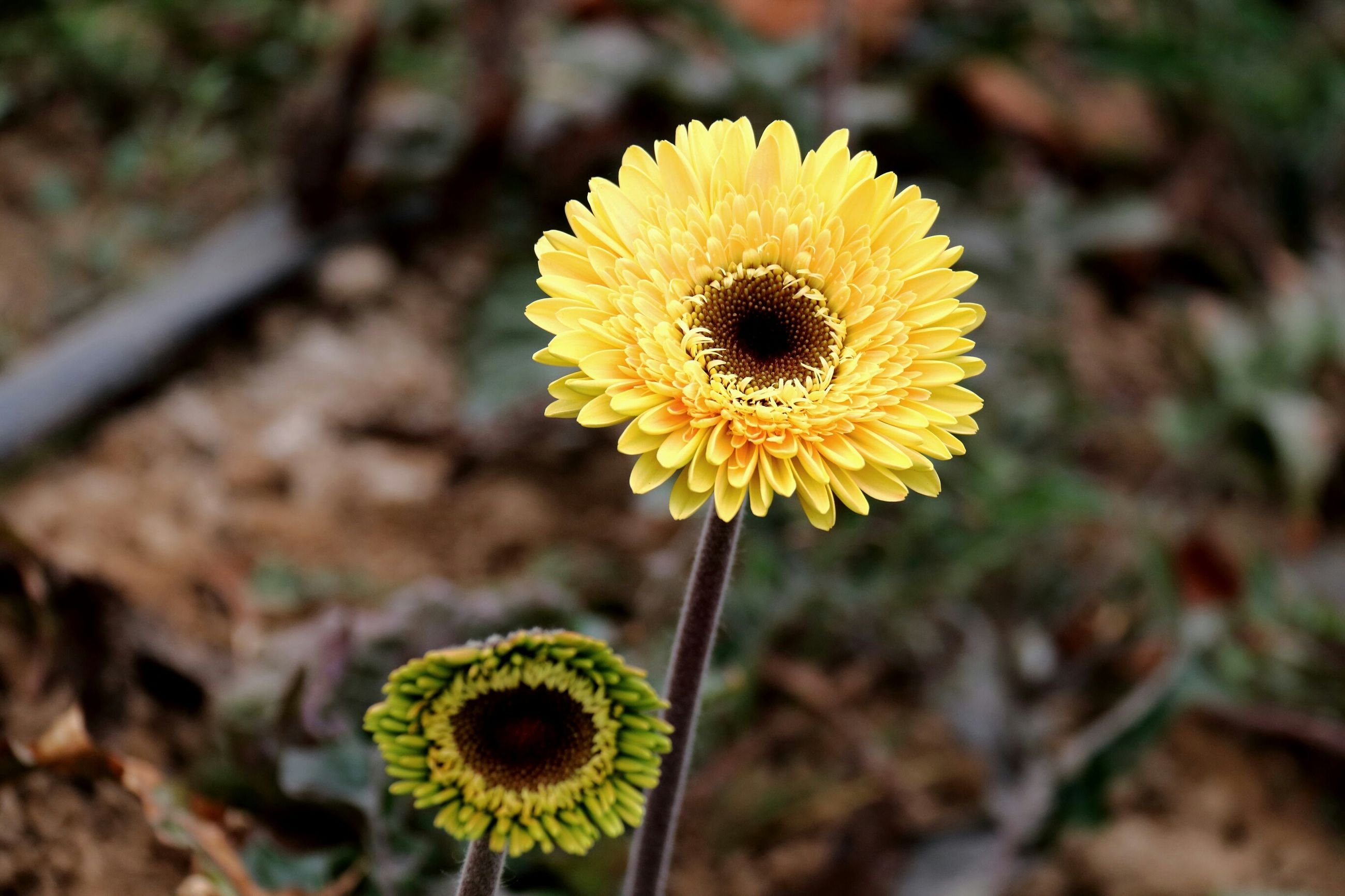 yellow, flower, growth, fragility, focus on foreground, dandelion, close-up, flower head, freshness, nature, plant, beauty in nature, sunflower, field, single flower, blooming, selective focus, petal, outdoors, wildflower