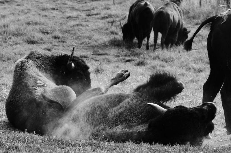 View of buffalo in field