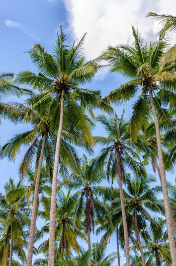 Coconut Tree at Anyer Beach INDONESIA Beauty In Nature Close-up Cloud - Sky Coconut Day Growth Indonesia Photography  Landscape Low Angle View Nature No People Outdoors Palm Tree Scenics Sky Tranquility Tree Tree Trunk