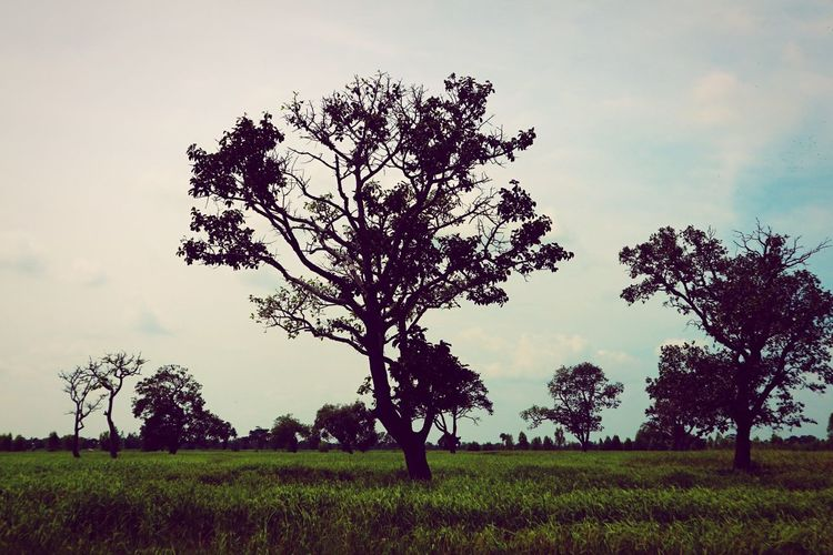 Tree Landscape Field Lone Nature Isolated Growth Sky Meadow Beauty In Nature Grass Tranquility Outdoors Branch No People Day