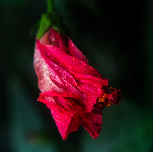 Beauty In Nature Close-up Day Drop Flower Flower Head Fragility Freshness Growth Hibiscus Leaf Nature No People Outdoors Petal Plant Red Rose - Flower
