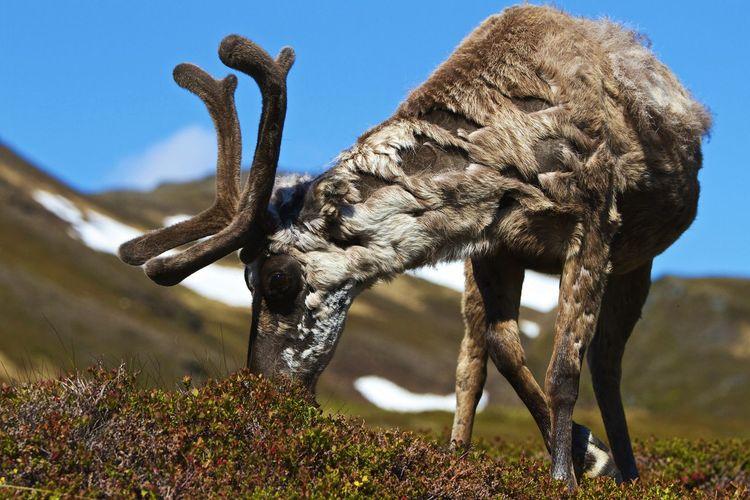 Reindeer grazing on field