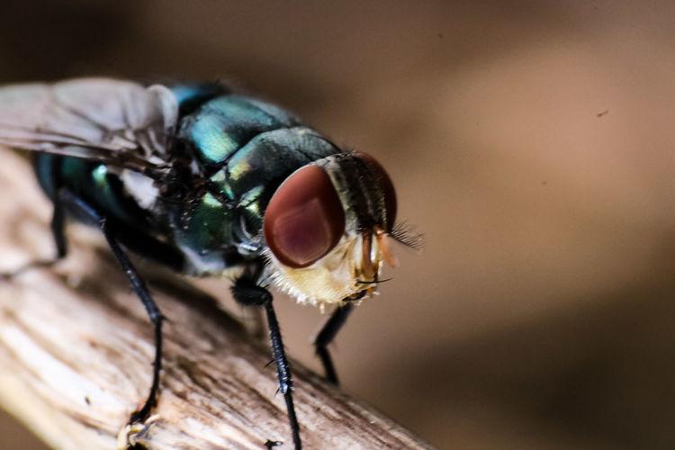 darkgreen giant flies Eyelash Portrait Stereo Looking At Camera Insect Eyeball Macro Close-up Housefly Animal Eye Animal Antenna