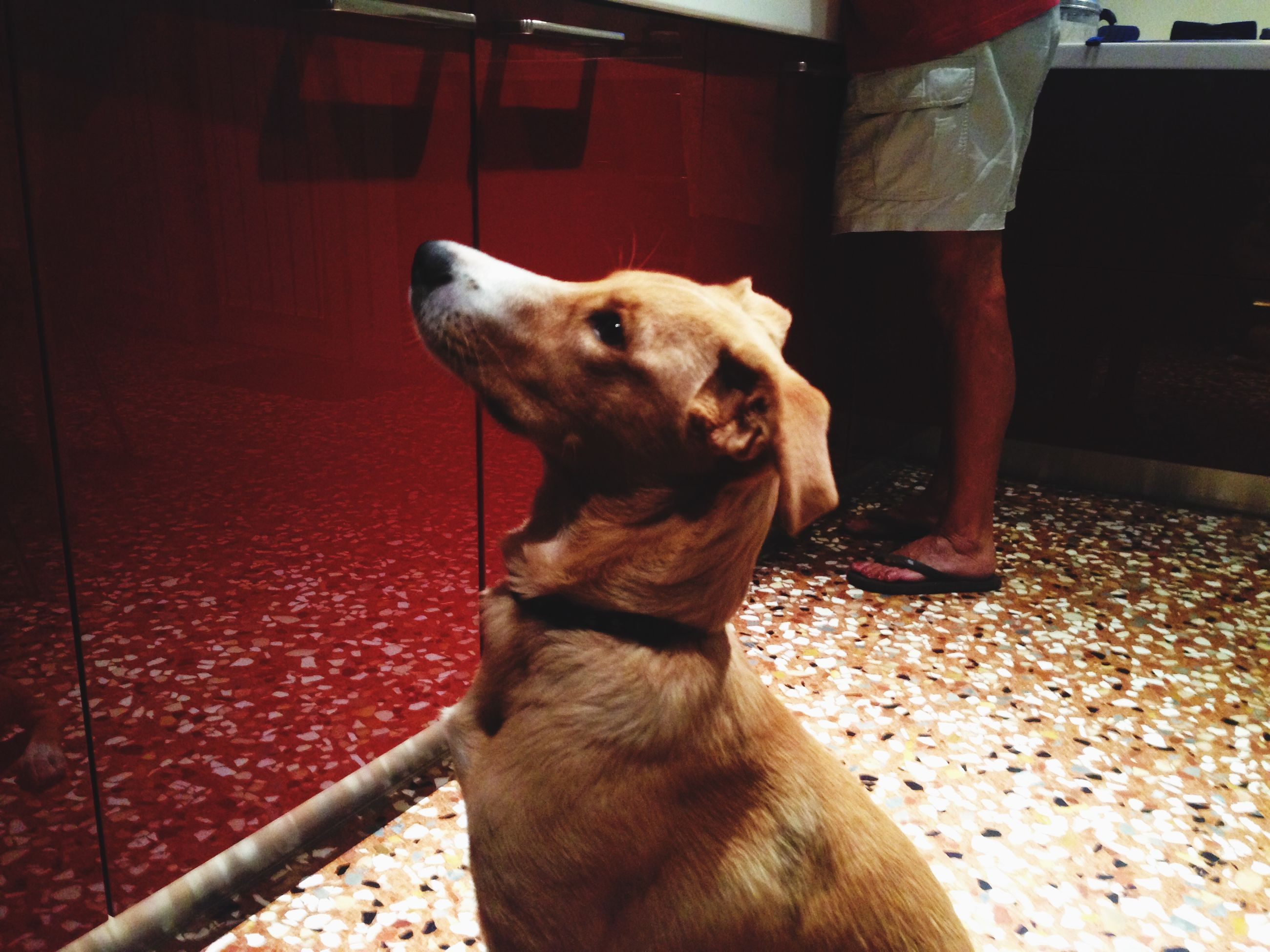 one animal, animal themes, dog, pets, domestic animals, mammal, indoors, standing, low section, pet collar, sitting, animal head, looking away, pet leash, person, part of, close-up